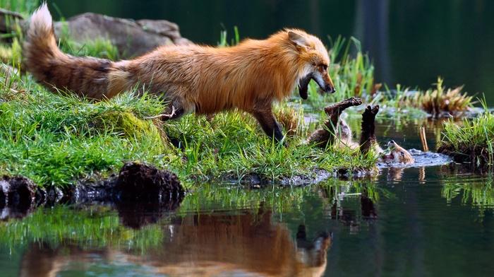 reflection, grass, fox, nature, wildlife, water, playing, animals, baby animals, fur