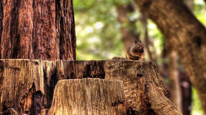 forest, nature, trees, squirrel, animals, wood, depth of field