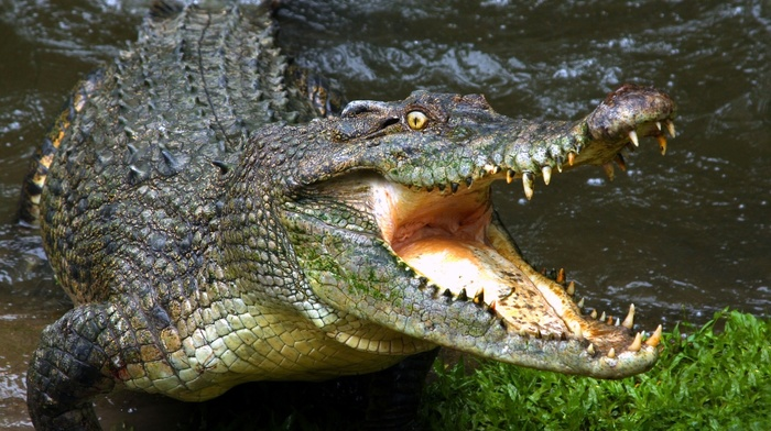water, animals, crocodiles, reptile