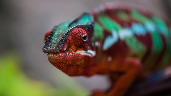 animals, macro, chameleons, nature, colorful