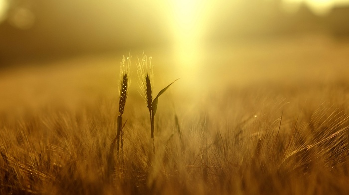 spikelets, nature, sunlight, yellow, plants, wheat, field, depth of field