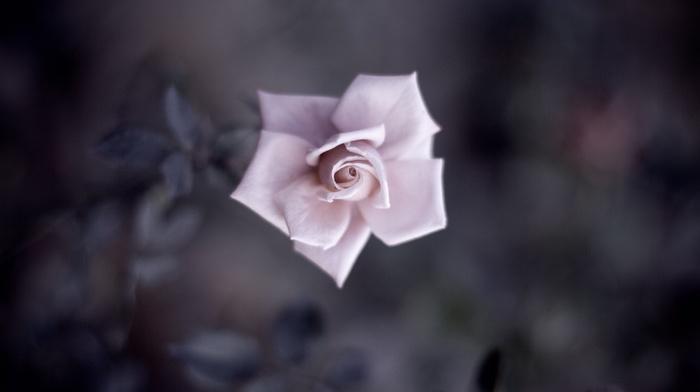 nature, depth of field, closeup, macro, petals, detailed, plants, flowers, rose, leaves, flower petals