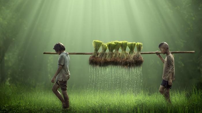 rice, farm, farmers, water drops, nature, field, water, children