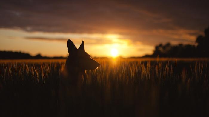 sunset, wheat, flag, silhouette, nature, dog, animals, plants