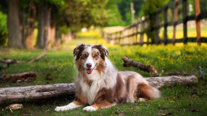 Australian Shepherd, dog, grass, depth of field, nature, animals, trees