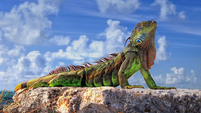 iguana, animals, colorful, closeup, sunlight, rock, clouds, sky, reptile, lizards