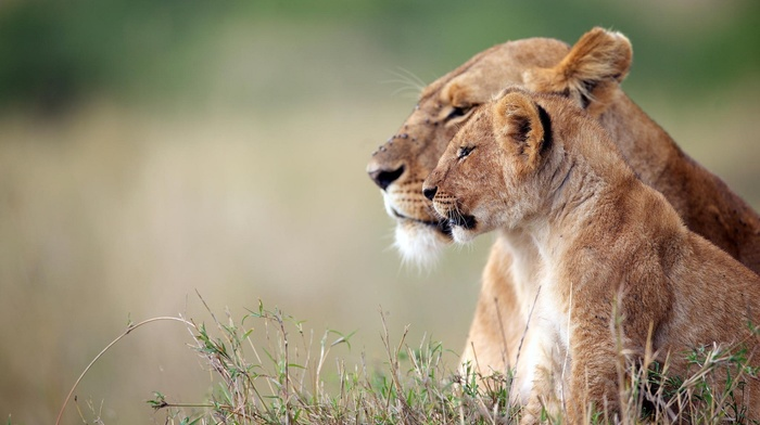 depth of field, animals, big cats, lion, wildlife, baby animals, nature, grass