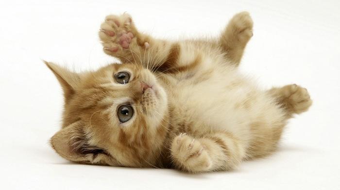 animals, baby animals, kittens, white background, cat