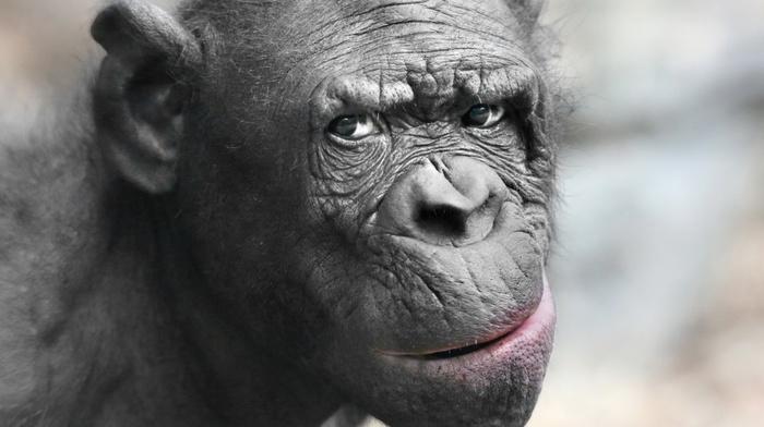 eyes, photography, depth of field, animals, muzzles, nature, chimpanzees, nose, closeup, hair, monkeys