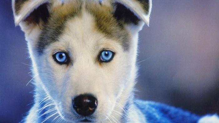 closeup, face, puppies, dog, muzzles, animals, blue eyes, baby animals, siberian husky, nature