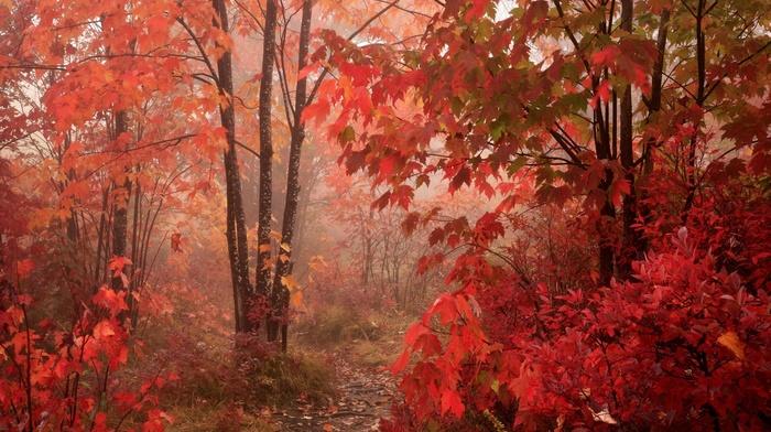 maple leaves, trees, park