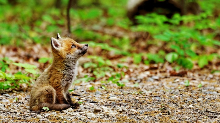 plants, field, fox, depth of field, baby animals, animals, nature, sitting