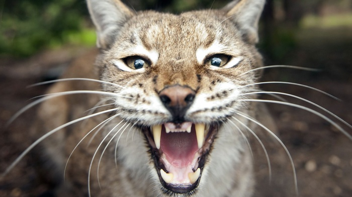 big cats, nature, open mouth, animals, lynx