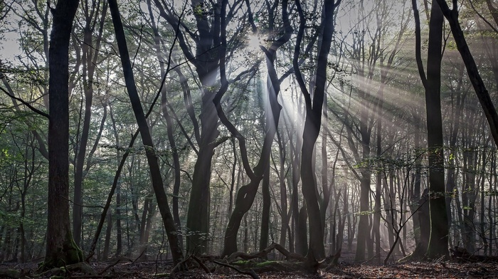 forest, trees, branch, nature, silhouette, sun rays, leaves, mist, wood, moss, dead trees