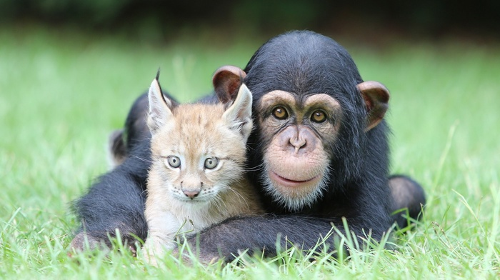 grass, lynx, chimpanzees, baby animals, nature, animals, face, looking at viewer