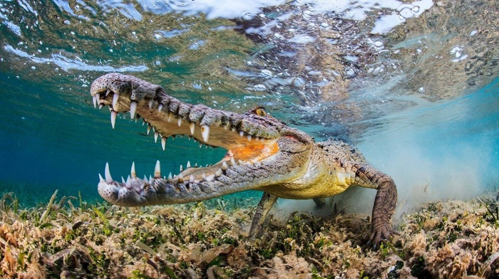 wildlife, fangs, underwater, muzzles, bubbles, fisheye lens, reptile, animals, water, nature