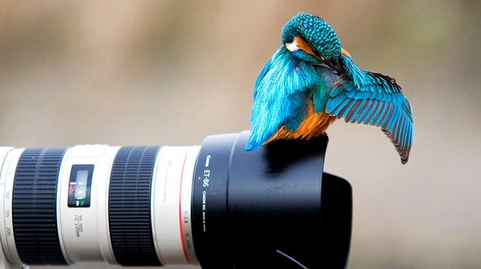 camera, animals, kingfisher, nature, Canon, colibri bird, birds