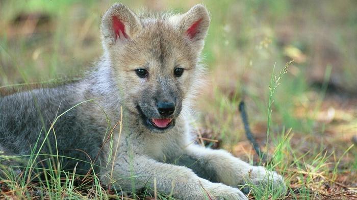 baby animals, animals, wolf, cubs