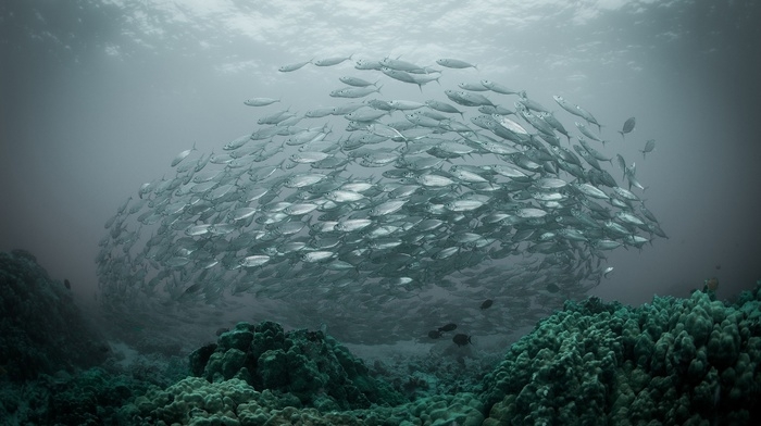 coral, nature, underwater, sea, fish, water, shoal of fish