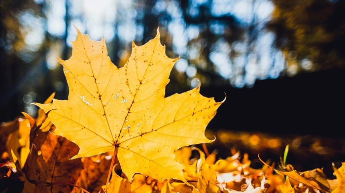 maple leaves, trees, fall, closeup, depth of field, leaves, nature