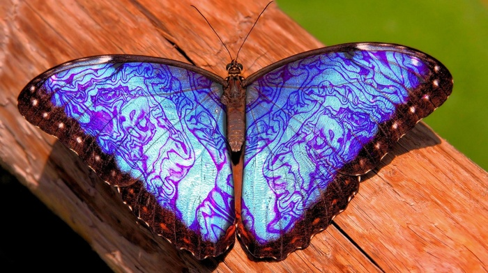 closeup, blue, nature, butterfly, insect