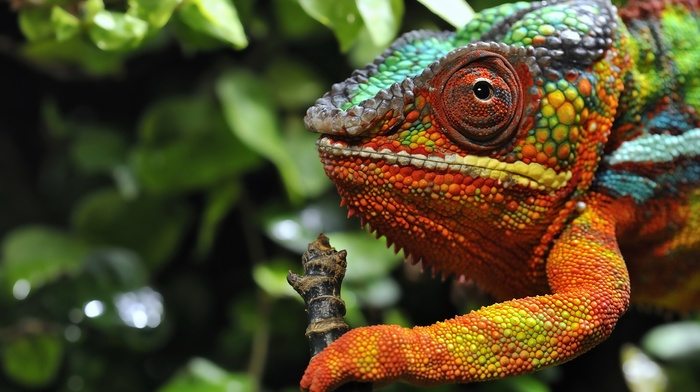 colorful, reptile, chameleons