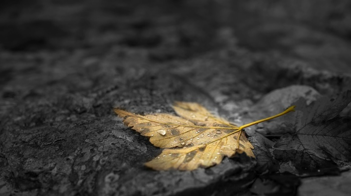 stone, water drops, stones, leaves, fall, selective coloring, depth of field, maple leaves, dew, nature