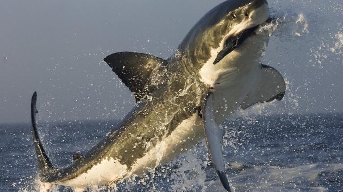 white shark, shark, jumping, sea