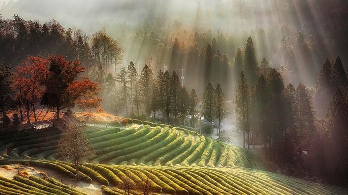 fall, nature, tea, South Korea, trees, sun rays, farm, landscape, field, mist, morning