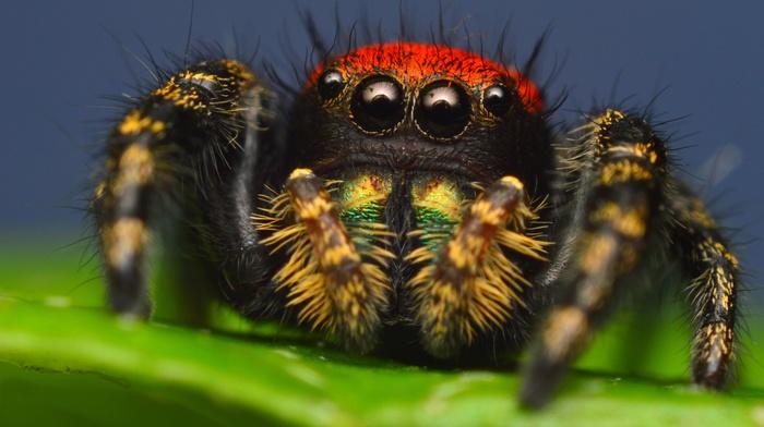 animals, spider, macro