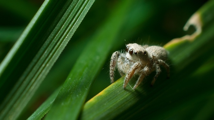 animals, Jumping Spider, nature, arthropods, Salticidae, spider