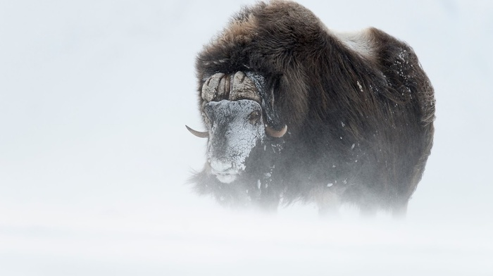 snow, buffalo