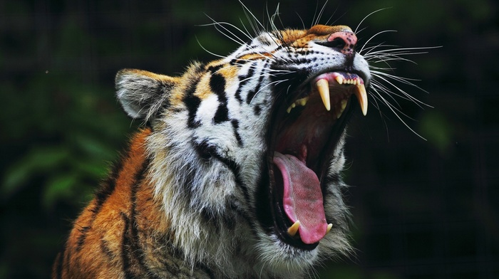 tiger, open mouth, big cats, nature, animals