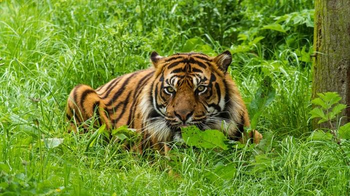 animals, green, nature, big cats, tiger