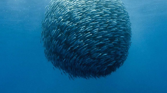 shoal of fish, underwater, ocean battle, sea, fish