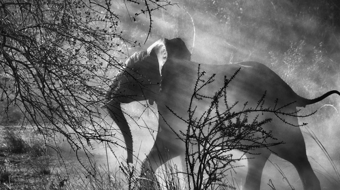 dust, photographers, Sebastiao Salgado, trees, sun rays, monochrome, photography, nature, elephants, animals, baby animals, grass