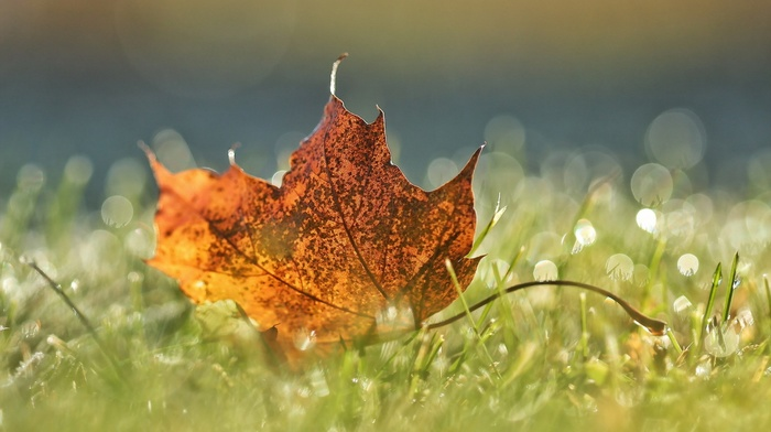 leaves, fall, closeup, macro, field, grass, water drops, nature, bokeh, maple leaves, depth of field