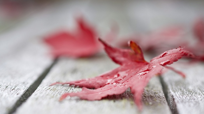 macro, maple leaves, leaves, fall, nature, closeup, red leaves, depth of field, water drops, wooden surface