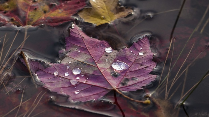 water drops, closeup, fall, nature, grass, macro, water, maple leaves, leaves