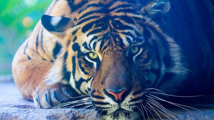 green eyes, tiger