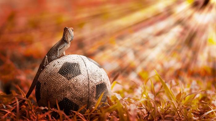 animals, ball, lizards, reptile
