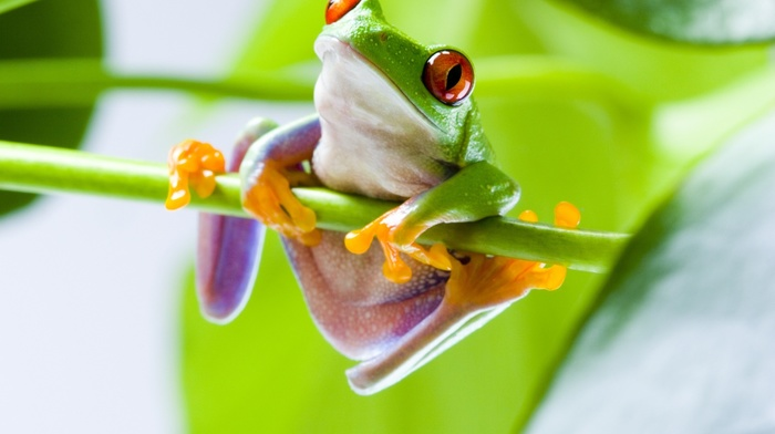 red, Eyed Tree Frogs, frog