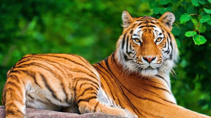 animals, big cats, tiger, nature