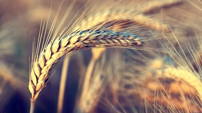 nature, wind, wheat