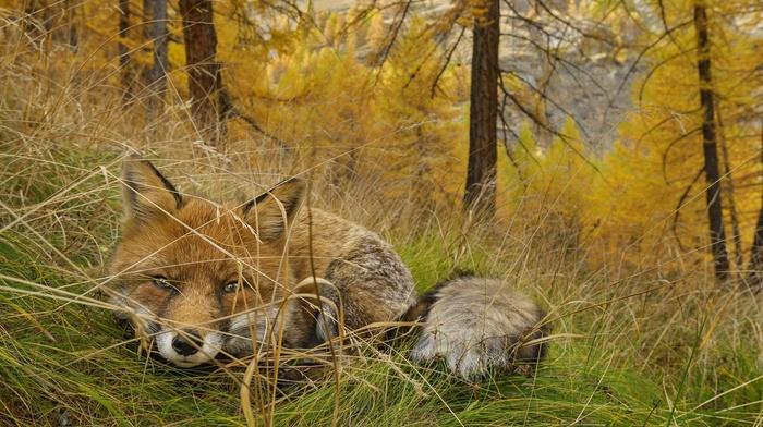 nature, fox, animals