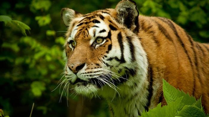 nature, tiger, big cats, animals