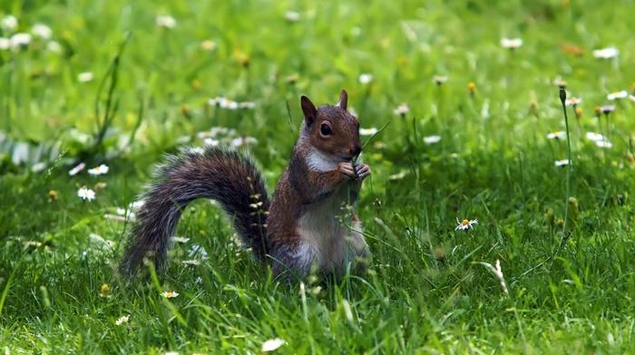 nature, squirrel, grass