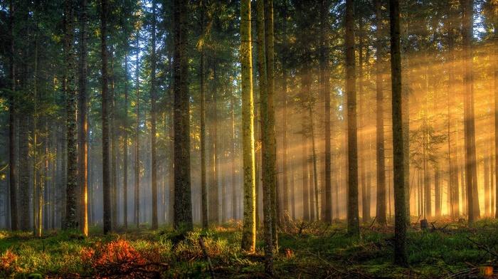 landscape, sun rays, forest, grass, trees, sunlight, sunrise, morning, Germany, mist, nature