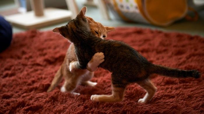 playing, cat, kittens