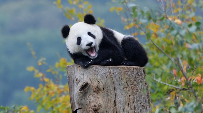 panda, baby animals, nature, bears